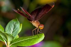 Red on Black - _TNY_3875 (Calle Söderberg) Tags: macro canon canon5dmkii canoneos5dmarkii canonef100mmf28usmmacro flash meike mk300 glassdiffusor vietnam phuquoc mercuryphuquocresortvillas insect dragonfly trollslända grasshawk redgrasshawk neurothemis fluctuans red veins black parasol commonparasol f95 specinsect ngc npc 5d2