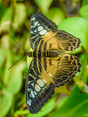 The clipper on leaves (Robert-Ang) Tags: butterfly insect clipper nature singapore leaves