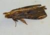 Notodontid Moth (Nystalea inchoans) (berniedup) Tags: belizon roura guyane moth notodontidae nystaleainchoans taxonomy:binomial=nystaleainchoans