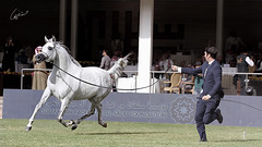 ولغير حُسنكَ في الورى لا أعشق ! (Meshari Fahad) Tags: canon7d riyadh showing show horses horse beauty white festival light feel