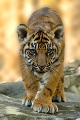 Sumatran tiger cub (ucumari photography) Tags: ucumariphotography tiger animal mammal jacksonville fl florida march dsc1811 cub specanimal pantheratigrissondaica sumatran