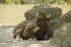 Indian Gaur (Bos gaurus) (ucumari photography) Tags: ucumariphotography zoo miami fl florida march 2018 indianguar bosgaurus animal mammal hoofstock dsc3667