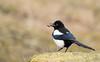 Magpie (Pica Pica) (Guido de Kleijn) Tags: magpie picapica ekster guidodekleijn nikond500 nikon200500f56 solleveld birds bird monster denhaag dunes duinen