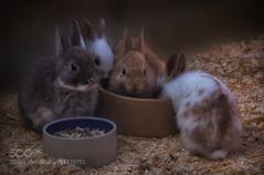 Easter Bunnies' Lunchtime - by wrejzlik (KevinBJensen) Tags: springtime fluff fluffy rabbit bunny bunnies rabbits easter easterbunny hairy animal animals nature seasonal happy farm barn rural cute pet pets