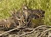_DSC6394 (Idahobill2008) Tags: long ear owl defense position