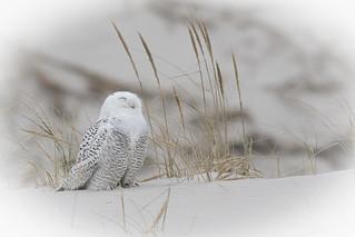 Snowy Owl **