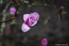 Flowering (BobbyFerkovich) Tags: pink flower bloom