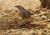 Arabian Babbler (Wild Chroma) Tags: turdoides squamiceps turdoidessquamiceps birds passerines babbler aqaba jordan observatory aqabaobservatory