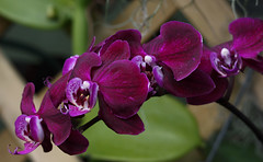 Velvet Petals (Violet aka vbd) Tags: pentax k3 vbd hdpentaxda55300mmf4563edplmwrre il illinois flower orchid lincolnparkbotanicalgarden 2018 winter2018 petals handheld manualfocus chicago