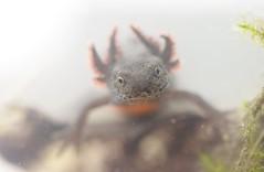 head of neotenous alpine newt (Icthyosaura alpestris) (willjatkins) Tags: newts newt eft neotenousalpinenewt neotenous neoteny icthyosauraalpestris icthyosaura closeupwildlife closeup macro macrowildlife nikond610 sigma105mm animal wildlife amphibians amphibian europeanwildlife europeanamphibians britishwildlife britishamphibiansandreptiles britishreptilesandamphibians britishamphibians ukwildlife ukreptilesandamphibians ukamphibiansandreptiles ukamphibians feral feralwildlife nonnativespecies nonnativewildlife animalportrait alienspecies alienwildlife alienamphibians