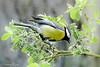 Mésange charbonnière Parus major (Ezzo33) Tags: france gironde nouvelleaquitaine bordeaux ezzo33 nammour ezzat sony rx10m3 parc jardin oiseau oiseaux bird birds mésange charbonnière reserve marais bruges parus major