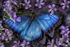 _4040044 Blue Morpho Butterfly (Charles Bonham) Tags: butterfly butterfliesinbloom midlandmi conservatory bluemorpho insect flowers hss art purple blue charlesbonhamphotography olympus60mmf28macro olympusomdem1 lavender