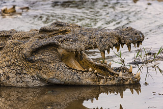 CLOSEUP COCCODRILLO    ----     CLOSEUP CROCODRILE