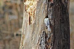 Black-capped Chickadee (U.S. Fish and Wildlife Service - Midwest Region) Tags: nature wildlife minnesota mn april 2018 spring bloomington nesting nest nestcavity cavity bird birds birding chickadee animal animals