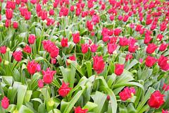 Red flowers, Kew Gardens, UK (John Briody Photography) Tags: nikon d750 fx kew gardens kewgardens london uk flower plant red green garden