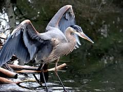 Moving on heron. (EcoSnake) Tags: greatblueheron ardeaherodias gbh birds wildlife march wings idahofishandgame naturecenter
