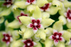 Hoya halconensis from Philippines (Wonder Kitsune) Tags: hoyaspecies hoya hoyaplant hoyahalconensis philippines floraofphilippines asclepiadaceae apocynaceae yellowflowers