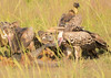 Vultures having lunch (piazzi1969) Tags: elements vultures geier birds whitebackedvultures sperbergeier weisrückengeier birdsofprey raptors avifauna fauna canon eos 7d markii ef100400mm uganda murchisonfalls rüppellsvulture gypsrueppelli gypsafricanus