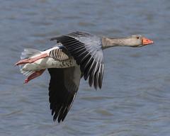 Greylag (Wayne A J.) Tags: greylag goose flight flying llanelli