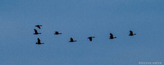 20180317-IMG_6062 (supra0) Tags: birds geese animals flying