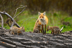 Paws Full (pdxsafariguy) Tags: usa wyoming nationalpark grandteton tree mammal kit fox nature wildlife young animal baby den redfox spring pup mother canine family vulpesvulpes duck log vixen tomschwabel