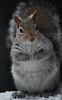 Captivated (John Neziol) Tags: jrneziolphotography portrait animal animalphotography squirrel greysquirrel wildlife brantford beautiful bright bokeh nikoncamera nikon nikondslr nikond80 nature naturallight fur furry outdoor mammal snow closeup cute