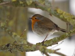 Robin (Deanne Wildsmith) Tags: earthnaturelife robin bartonmarina staffordshire