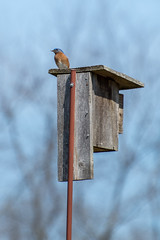 Eastern Bluebird, Lake Conestee, SC (hmthelords) Tags: lakeconestee