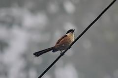 Длиннохвостый сорокопут, Lanius schach tricolor, Long-tailed Shrike (Oleg Nomad) Tags: длиннохвостыйсорокопут laniusschachtricolor longtailedshrike птицы фотоохота таиланд азия bird aves asia thailand