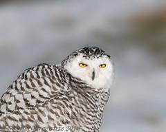 You know I can see you (Susan Newgewirtz) Tags: nikon d850 outdoor ontario owl snowyowl raptor snow march 2018 nikkor300mm
