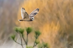Short-eared owl-6012.jpg (oregondew) Tags: asioflammeus shortearedowl diamondhilldr