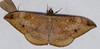 Erebid Moth (Hemeroblemma opigena) (berniedup) Tags: kaw roura guyane moth hemeroblemmaopigena erebidae taxonomy:binomial=hemeroblemmaopigena