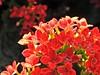 Rot-Oranges Schmetterlingsfutter (W@llus2010) Tags: makro macro nahaufnahme berggarten hannover herrenhausen nikon p900