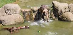 Jump for the melon (yorkiemimi) Tags: 2013urlaub zoo osnabrück bär bear water animal tier