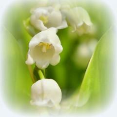 * Timidi e profumati mughetti spuntano * Shy and scented Lilies of the Valley  sprouting * Impressionism * (argia world 1) Tags: primavera springtime mughetti lilliesofthevalley foglie leaves impressionismo impressionism