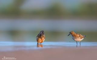 Little stints in breeding plumage.