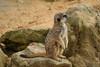 Lookout (alan.dphotos) Tags: meerkatcute furry rodent lookout desert sand gravel rock group family