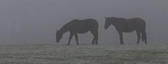 Horses (Maike243) Tags: fog foggy weather horses horse maike243 paarden paard mist mistig holland netherlands drenthe nederland animal animals morning ochtend farm boerderij meadow weiland cold koud