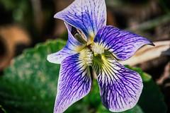 wild violet (Viola odorata)