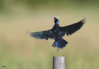 Super Starling