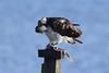 Big Breakfast. (stonefaction) Tags: osprey fife guardbridge eden estuary birds nature wildlife scotland blue yd