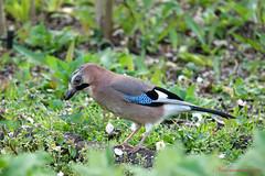 Geai des chênes - Garrulus glandarius (7) (Ezzo33) Tags: france gironde nouvelleaquitaine bordeaux ezzo33 nammour ezzat sony rx10m3 parc jardin oiseau oiseaux bird birds eurasian jay geai des chênes garrulus glandarius