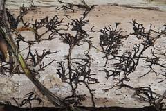 Dried sea grass on a log (nikname) Tags: beaches oregonbeaches driftwood designsondriftwood driftwooddesign naturesabstract abstractnature
