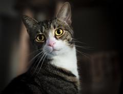 The eyes (ivegte) Tags: cat kat poes kater eyes yellow colour colorful ogen 2018 ingmar de vegte ivegte kittycat sweet cute domesticated animal pet
