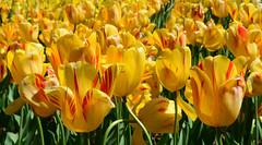 Tulips (davidwilliamreed) Tags: tulips nature blooms blossoms yellow atlantabotanicalgarden atlantaga fultoncounty colorful vividcolor