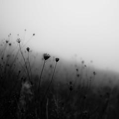 Lakeside Fog 051 (noahbw) Tags: d5000 dof nikon abstract autumn blackwhite blackandwhite blur bw depthoffield fog foggy hills landscape light mist misty monochrome natural noahbw prairie quiet shadow shore shoreline silhouette square still stillness lakesidefog