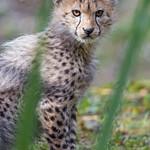 Cheetah cub thumbnail