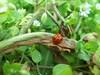 100_8855 (jeanchristophelenglet) Tags: cergyfrance coccinelle ladybug joaninha