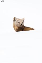 ''La curieuse!'' Martre d'Amérique (pascaleforest) Tags: animal passion nautre nikon mammifère québec canada winter hiver snow neige white blanc wild wildlife faune