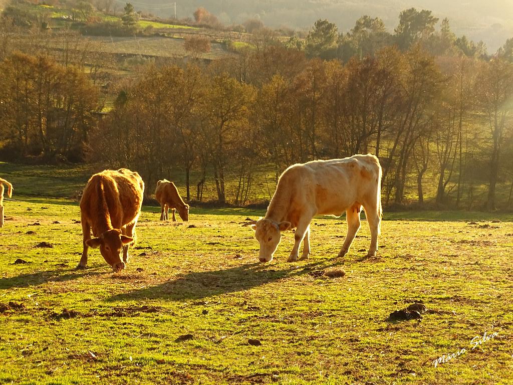 Águas Frias (Chaves) - ... vacas no pasto ...